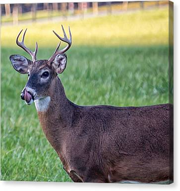 Buck Licking His Chops At Cades Cove Inside Of The Great Smoky Mountains National Park Canvas Print
