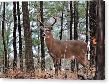 Buck Master Canvas Print by Leslie Kirk