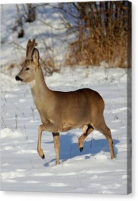 Canvas Print - Buck Roe Deer  by Dragomir Felix-bogdan
