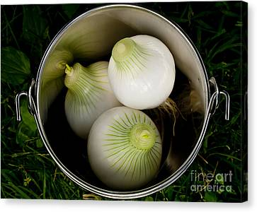 Bucket Of Onions Canvas Print by Wilma  Birdwell