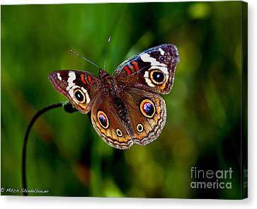 Canvas Print featuring the photograph Buckeye Butterfly by Mitch Shindelbower