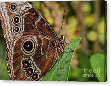 Canvas Print featuring the photograph Blue Morpho Butterfly by Olga Hamilton