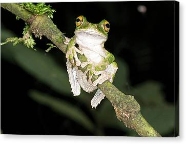 Bromeliad Canvas Print - Buckley S Slender-legged Treefrog by Dr Morley Read