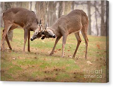 Canvas Print featuring the photograph Bucks Fighting 1 by Brenda Bostic