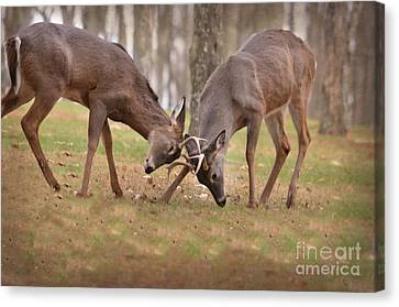 Canvas Print featuring the photograph Bucks Fighting 2 by Brenda Bostic