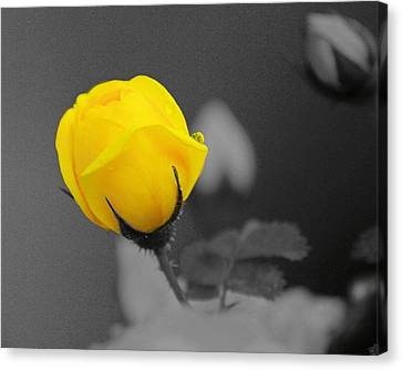 Bud - A Splash Of Yellow Canvas Print by John  Greaves