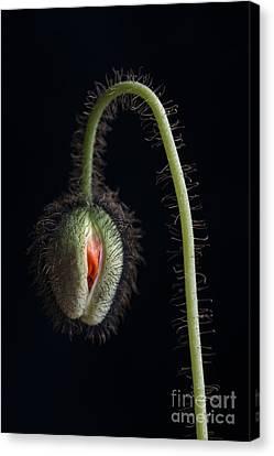 Budding Poppy Flower Canvas Print by Elena Elisseeva