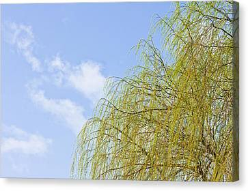 Budding Willow Canvas Print by Tom Gowanlock
