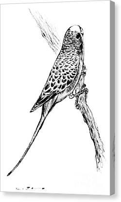 Budgerigar - Melopsittacus Undulatus Canvas Print