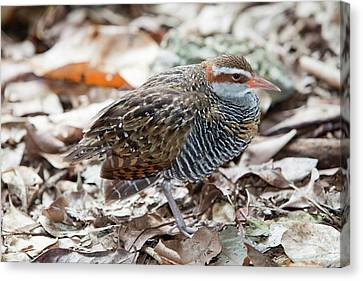 Buff Banded Rail Canvas Print by Ashley Cooper