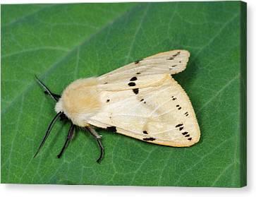 Buff Ermine Moth Canvas Print by Nigel Downer