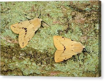 Buff Ermine Moths Canvas Print by Nigel Downer