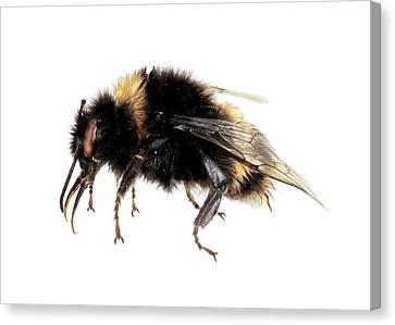 Buff-tailed Bumblebee Canvas Print
