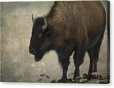 Buffalo Canvas Print by Juli Scalzi