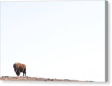 Buffalo Canvas Print - Buffalo Country by James BO  Insogna