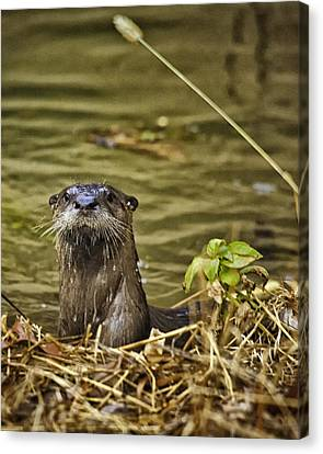 Buffalo National River Otter  Canvas Print by Michael Dougherty