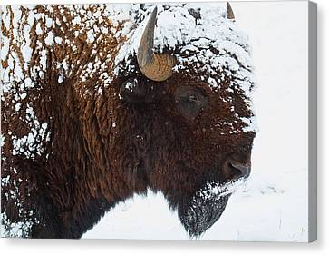 Buffalo Nickel Canvas Print by Jim Garrison
