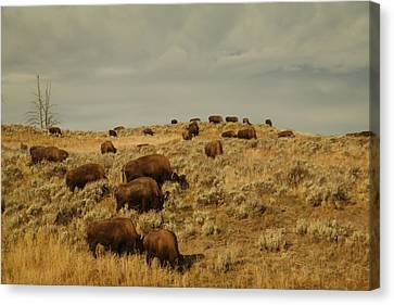 Bison Heard Canvas Print - Buffalo On The Prairie by Jeff Swan