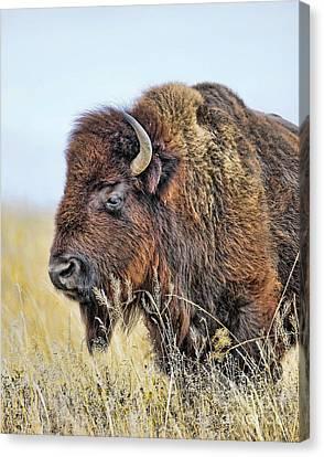 Buffalo Portrait Canvas Print by Dale Erickson