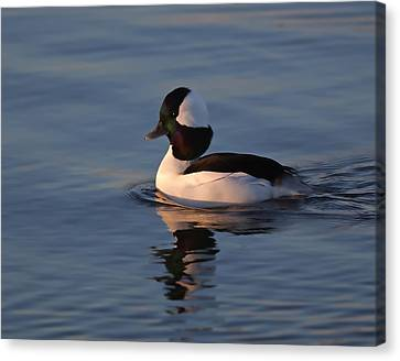 Bufflehead Duck Canvas Print