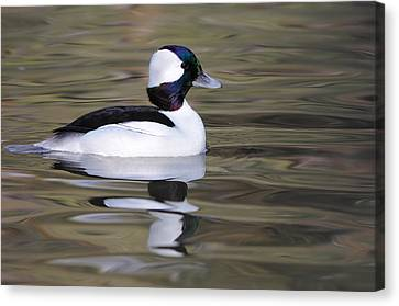 Canvas Print featuring the photograph Bufflehead by Tyson and Kathy Smith