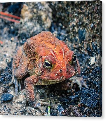 Canvas Print featuring the photograph Bufo Terrestris by Rob Sellers