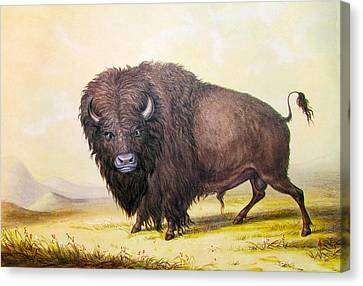 Bull Buffalo Canvas Print by George Catlin