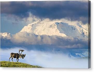 Bull Caribou Walks On Tundra Ridgeline Canvas Print by Michael DeYoung