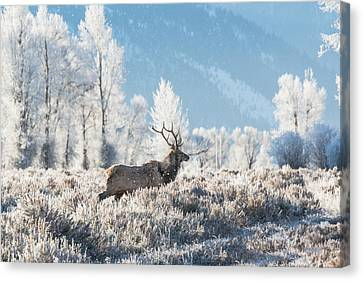 Canvas Print featuring the photograph Bull Elk At Winter Dawn by Yeates Photography