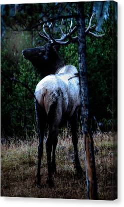 Canvas Print featuring the photograph Bull Elk In Moonlight  by Lars Lentz