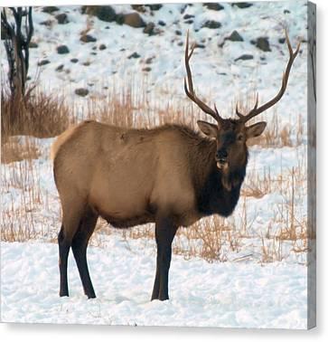 Oak Creek Canvas Print - Bull Elk  by Jeff Swan