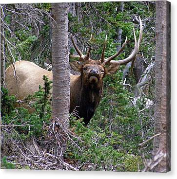 Bull Elk Looking At Me Canvas Print