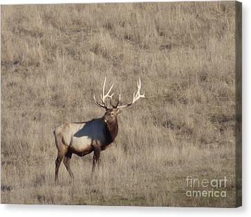 Bull Elk Of Kootenai County Idaho Canvas Print by Keith Boe