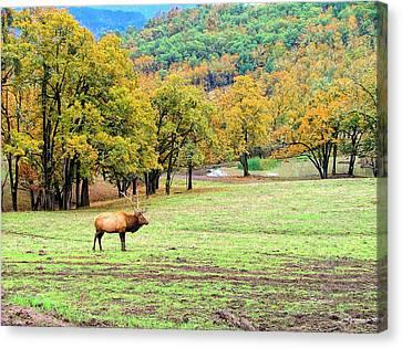 Bull Elk Canvas Print by Wendy McKennon