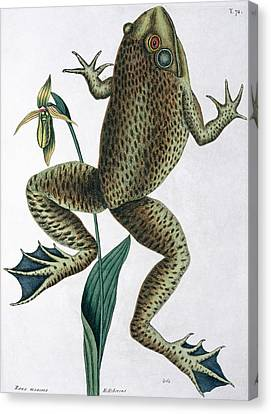 Frog Watercolor Canvas Print - Bull Frog by Natural History Museum, London