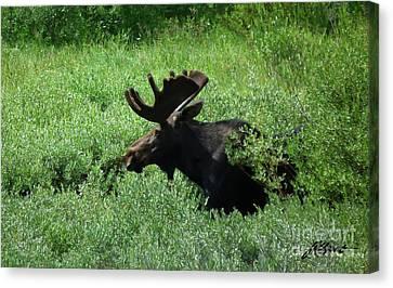 Bull Moose 1 Canvas Print