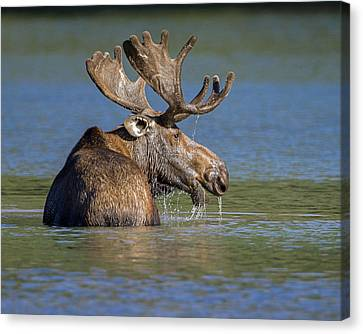 Canvas Print featuring the photograph Bull Moose At Fishercap by Jack Bell