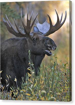 Bull Moose Calling Canvas Print by Gary Langley