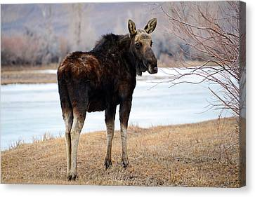 Bull Moose In Late Winter #2 Canvas Print by Eric Nielsen