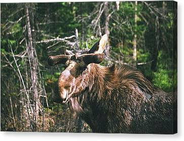 Canvas Print featuring the photograph Bull Moose In Spring by David Porteus