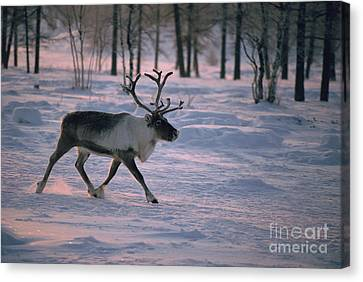 Bull Reindeer In  Siberia Canvas Print by Bryan and Cherry Alexander