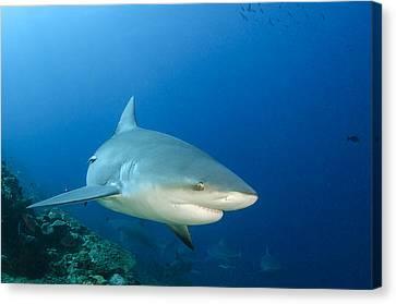 Bull Shark Beqa Lagoon Viti Levu Fiji Canvas Print by Pete Oxford