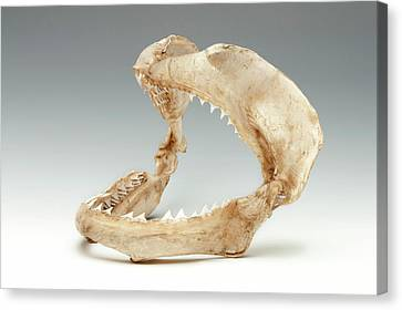 Bull Shark Jaws Canvas Print by Ucl, Grant Museum Of Zoology