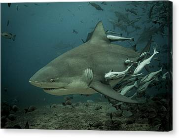Bull Shark With Ramoras Canvas Print