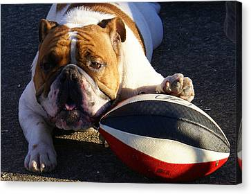 Bulldog And Ball Canvas Print by DerekTXFactor Creative