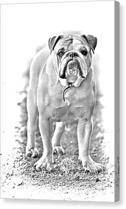Bulldog Canvas Print by James BO  Insogna