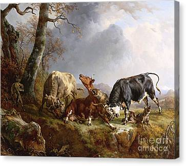 Bulls Defending A Cow Attacked By Wolves Canvas Print by Pg Reproductions