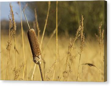 Bulrushes In The Long Grass Canvas Print by Paul Madden