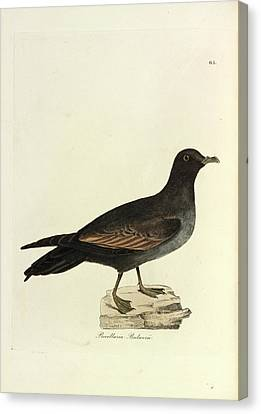 1874 Canvas Print - Bulwer's Petrel by Natural History Museum, London