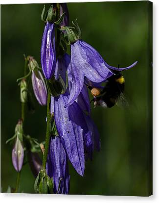 Bumblbee At Work Canvas Print by Leif Sohlman